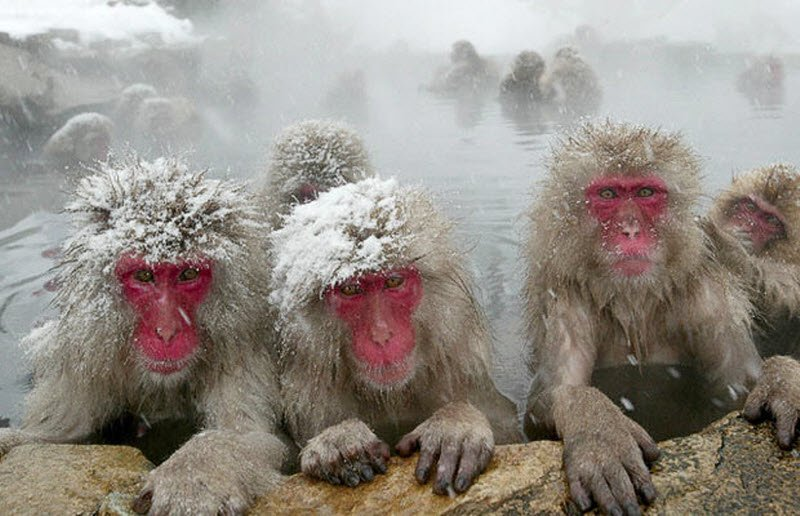Japanese Monkeys Bathing